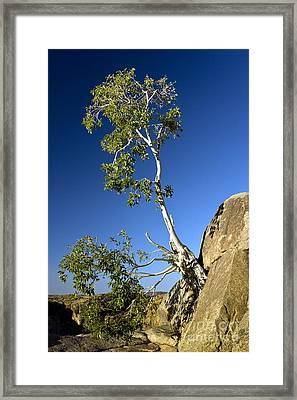 Namaqua Fig (ficus Cordata) Framed Print by Bob Gibbons