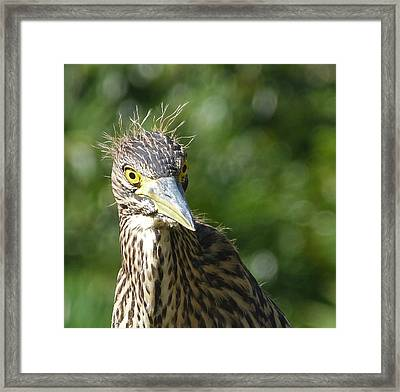 Nankeen Night Heron Junior Framed Print by Margaret Saheed