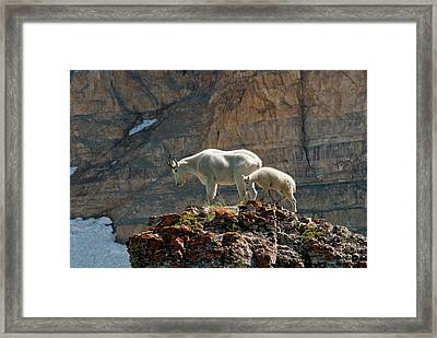 Nanny Mountain Goat And Kid, Oreamnos Framed Print by Howie Garber
