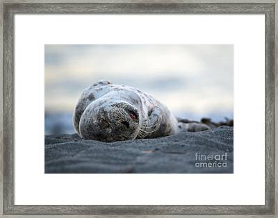 Seal Pup Nap Framed Print by Mike Dawson