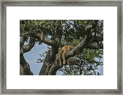 Nap Time On The Serengeti Framed Print by Sandra Bronstein