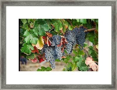 Napa Valley Merlot Framed Print by Vinnie Oakes