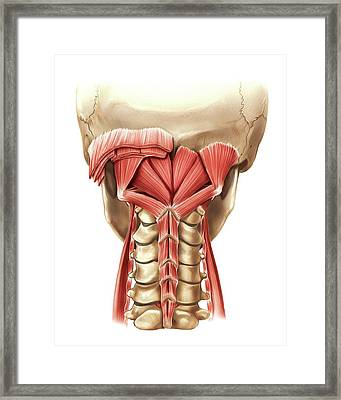 Nape Muscles Framed Print by Asklepios Medical Atlas