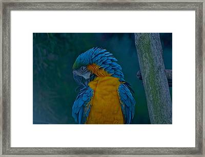 Napping Framed Print by Colleen Renshaw
