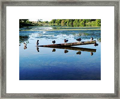 Framed Print featuring the photograph Napping Ducks by Zinvolle Art