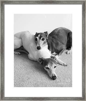 Napping Greyhounds Framed Print by Kate Sumners