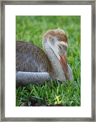 Napping Sandhill Baby Framed Print