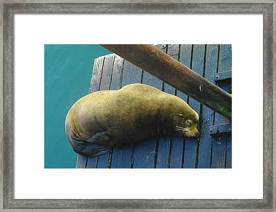 Napping Sea Lion Framed Print by Jeff Swan