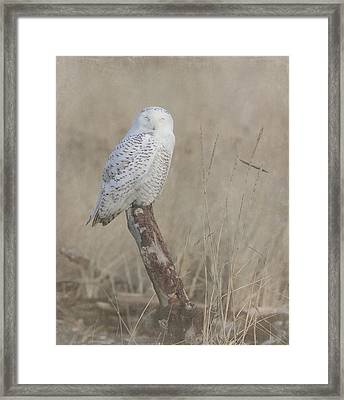 Napping Snowy Owl Framed Print