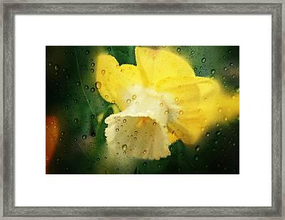 Narcissi Framed Print