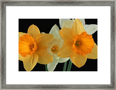 Narcissus 2 Framed Print
