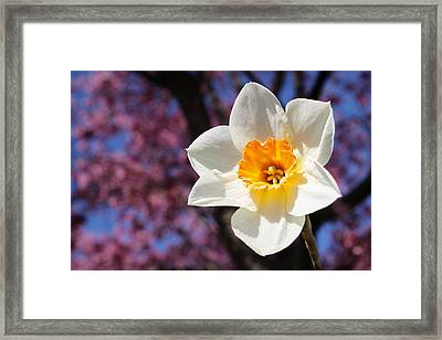 Narcissus And Cherry Blossoms Framed Print