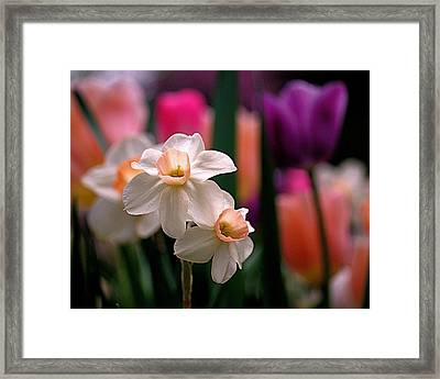 Narcissus And Tulips Framed Print by Rona Black