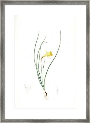 Narcissus Bulbocodium, Narcissus Bulbocode Hoop Petticoat Framed Print by Artokoloro