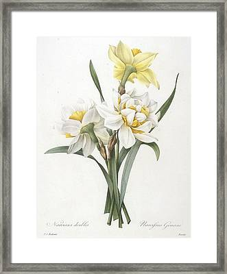 Narcissus Gouani Double Daffodil Framed Print by Pierre Joseph Redoute
