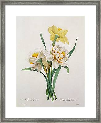 Narcissus Gouani Framed Print by Pierre Joseph Redoute