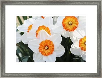 Narcissus Parkdene #2 Framed Print