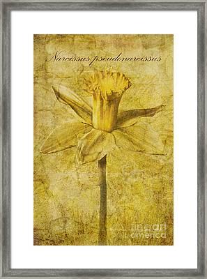 Narcissus Pseudonarcissus Framed Print by John Edwards