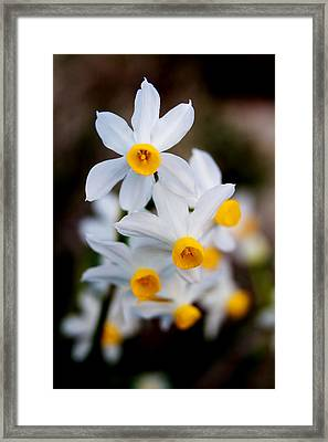 Narcissus Tazetta Framed Print by Stelios Kleanthous