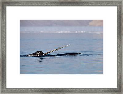 Narwhal Male Baffin Island Canada Framed Print by Flip Nicklin