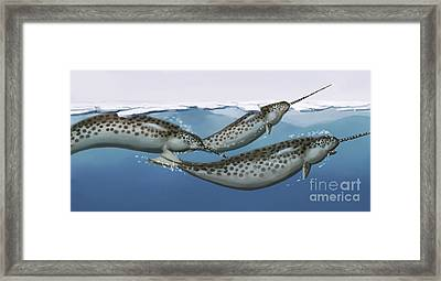 Narwhals Framed Print by Spencer Sutton
