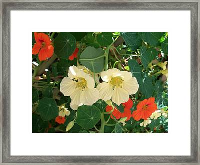 Nasturtiums Framed Print