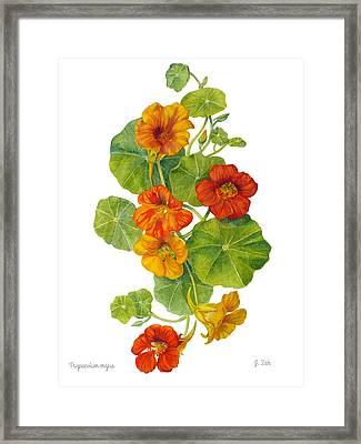 Nasturtiums - Tropaeolum Majus  Framed Print