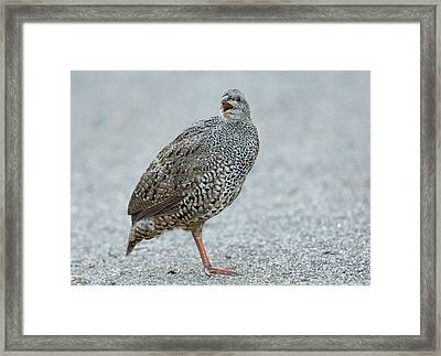 Natal Spurfowl On The Ground Framed Print by Bob Gibbons