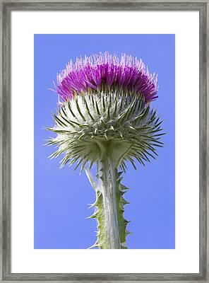 National Flower Of Scotland Framed Print
