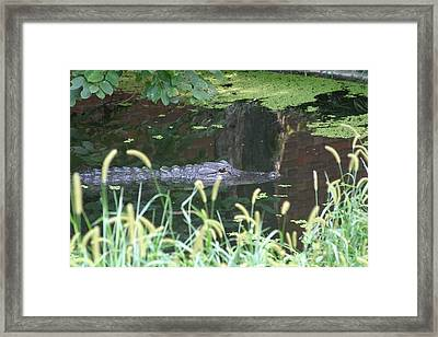 National Zoo - Alligator - 12121 Framed Print by DC Photographer