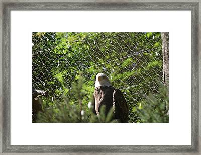 National Zoo - Bald Eagle - 12121 Framed Print