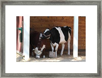 National Zoo - Cow - 01131 Framed Print