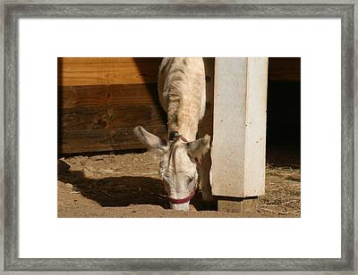 National Zoo - Donkey - 12122 Framed Print by DC Photographer