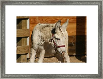 National Zoo - Donkey - 12124 Framed Print by DC Photographer