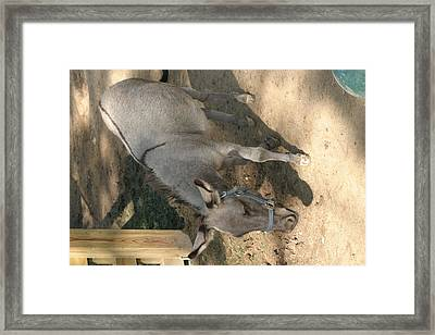 National Zoo - Donkey - 12126 Framed Print by DC Photographer