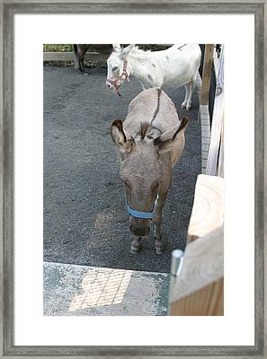 National Zoo - Donkey - 12127 Framed Print by DC Photographer