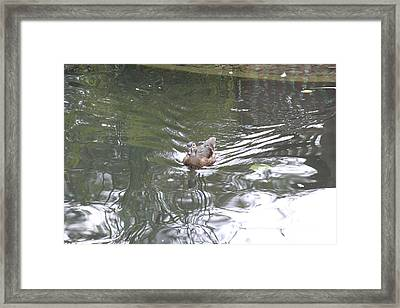 National Zoo - Duck - 121211 Framed Print
