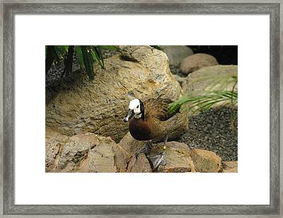 National Zoo - Duck - 121212 Framed Print
