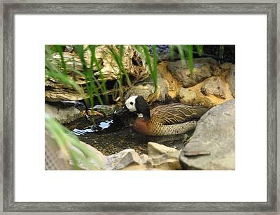National Zoo - Duck - 121213 Framed Print