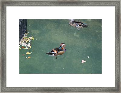 National Zoo - Duck - 121214 Framed Print by DC Photographer