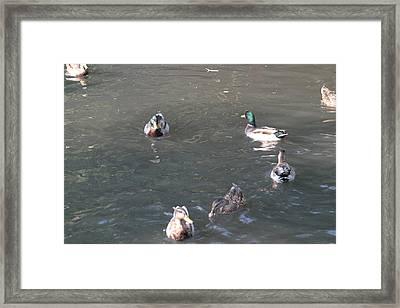 National Zoo - Duck - 12123 Framed Print