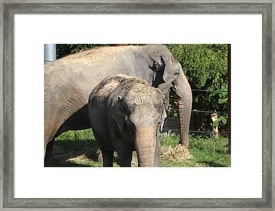 National Zoo - Elephant - 011313 Framed Print