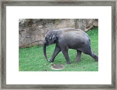 National Zoo - Elephant - 01135 Framed Print