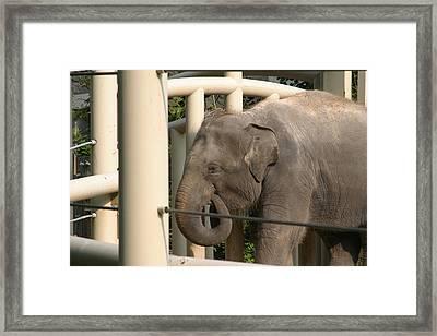 National Zoo - Elephant - 121210 Framed Print