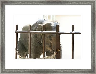 National Zoo - Elephant - 121213 Framed Print