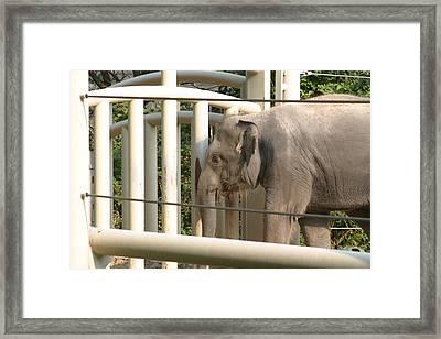 National Zoo - Elephant - 12129 Framed Print
