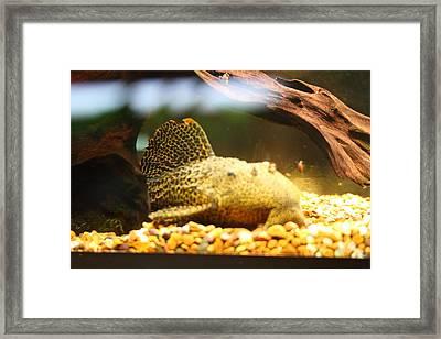 National Zoo - Fish - 011311 Framed Print