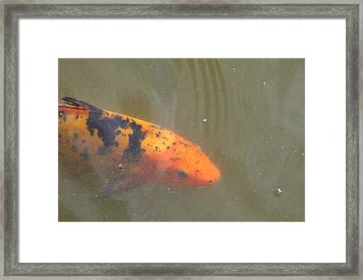 National Zoo - Fish - 01133 Framed Print by DC Photographer