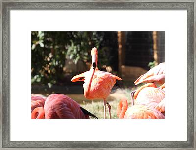 National Zoo - Flamingo - 01133 Framed Print by DC Photographer