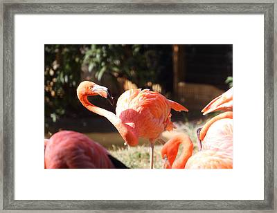 National Zoo - Flamingo - 01134 Framed Print by DC Photographer
